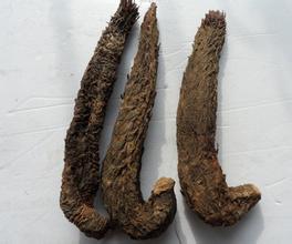 內蒙古肉蓯蓉