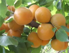 海淀玉巴达杏