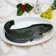 鄂爾多斯黃河鯰魚