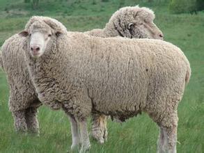 昭烏達肉羊
