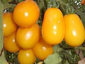 五原黃柿子