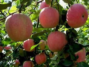 太子墓村蘋果