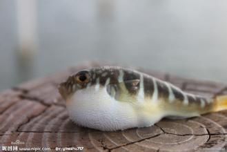 野生气泡鱼