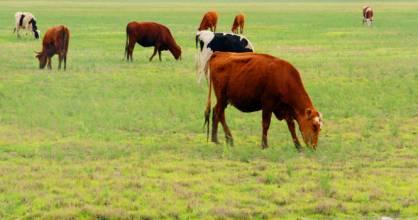 通榆草原紅牛