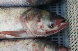 龍頭胖頭魚