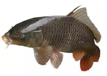 香磨山鰱魚