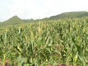 延壽粘玉米