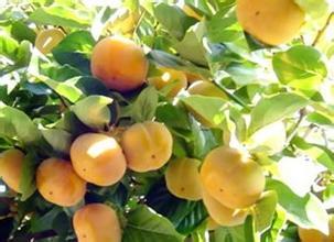 新安牛心柿