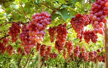 马陆镇葡萄