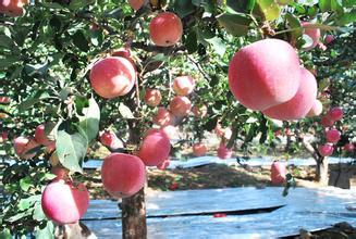 里炮村苹果