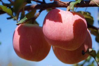 豐縣紅富士蘋果