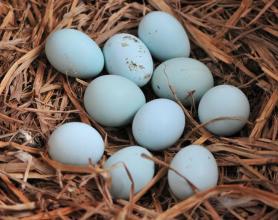 沙頭綠殼雞蛋
