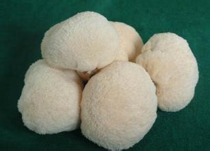 常山猴頭菇