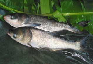 花亭湖鳙鱼