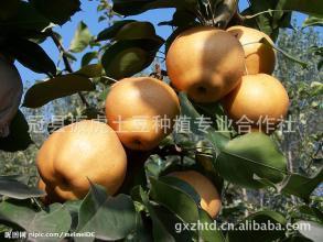 曹市黄金梨