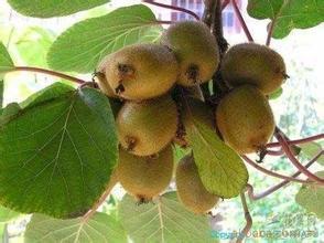 建寧獼猴桃