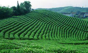 壽寧高山茶