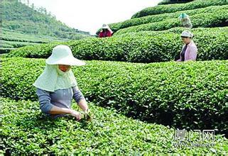 莲花高山茶