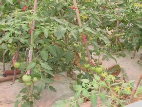 五陂無公害蔬菜