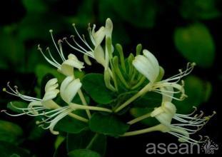 臨川金銀花