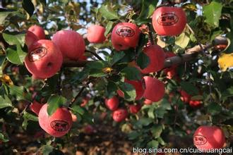 二仙坡蘋果
