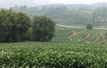 觀音湖綠茶