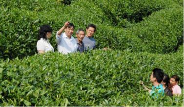 太青雙上綠芽茶