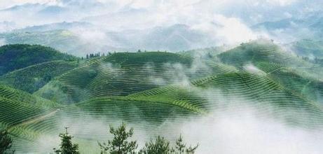 宜章莽山綠茶