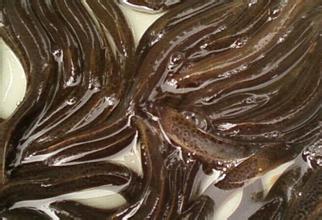 寶坻黃板泥鰍