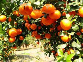 梧州砂糖桔