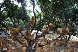北流凉亭鸡