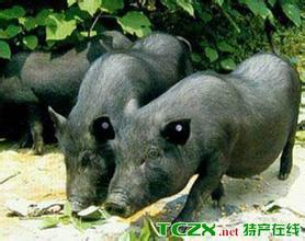 潼南羅盤山豬