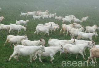 云陽白山羊