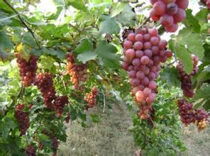 合川东山坪葡萄