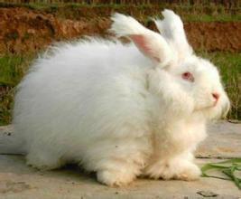 石柱長毛兔