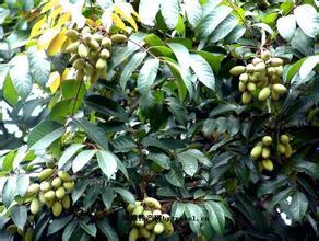江津石蟆橄欖