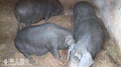 螺髻山黑猪