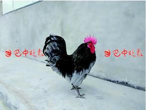 镇龙山瓦灰鸡