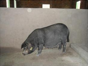通江青峪豬