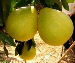 資中沙溪蜜柚