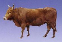 川南山地黄牛