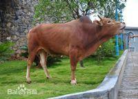 南盤江黃牛