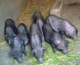 黔東南香豬