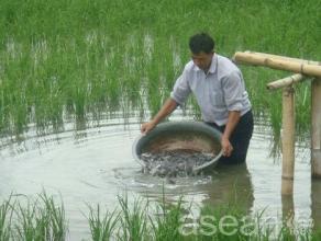陇川稻田鱼
