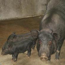 勐臘小耳豬