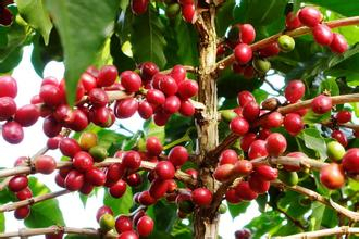 思茅小粒種咖啡