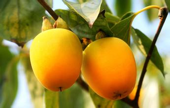 兰坪岩头小柿子