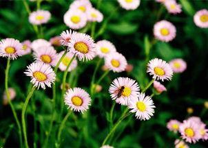 瀘西燈盞花