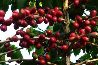 麻栗坡小粒咖啡