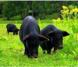 林芝藏香豬